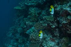 BD-150425-Maldives-8637-Chaetodon-falcula.-Bloch.-1795-[Blackwedged-butterflyfish].jpg